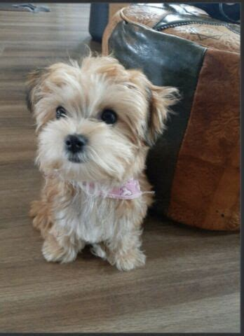 Looking for a Morkie, Yorkie, Toy Cavapoo or Toy Cockapoo